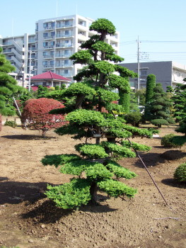 niwaki true japanese pruning