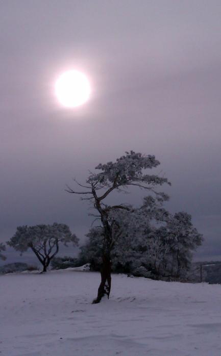 niwaki nature pine japanese pruning