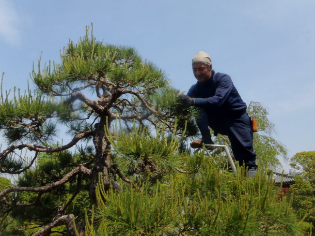bourgeons pins jardin japonais midoritsumi niwaki outils japonais de taille pincement printemps sécateur ciseaux taille japonaise entretien