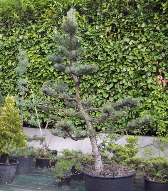 niwaki, japanese pruning, structure pruning, black pine