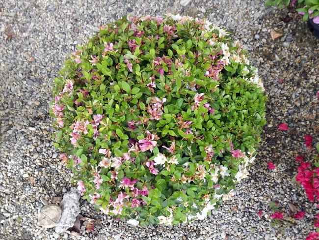 azalea tamamono maintenance pruning japanese garden japanese pruning niwaki shrub