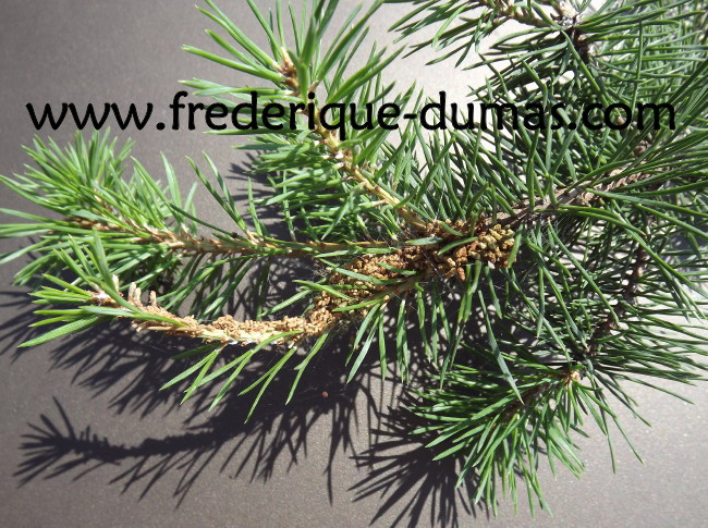 pine budworm miner bud drying and torsion Rhyacionia